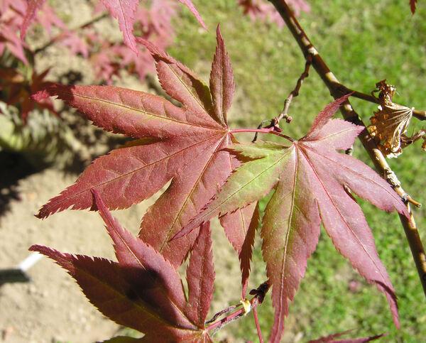 Acer palmatum Thunb. ex Murray 'Red Flash'