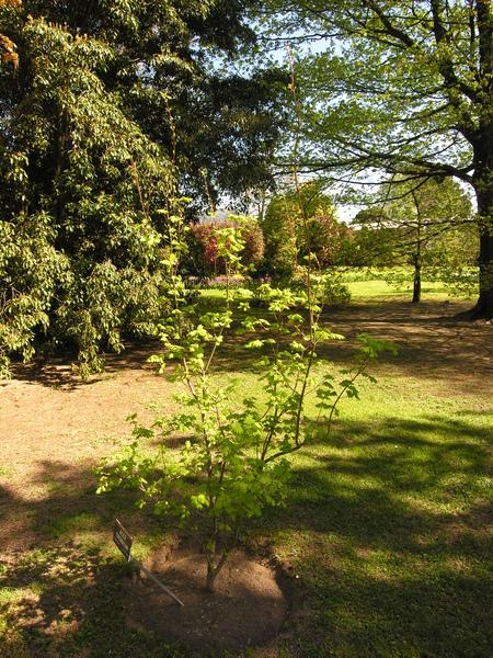 Acer circinatum Pursh