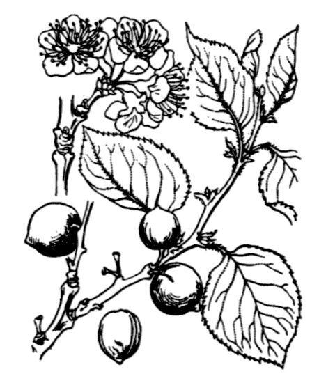 Prunus brigantina Vill.