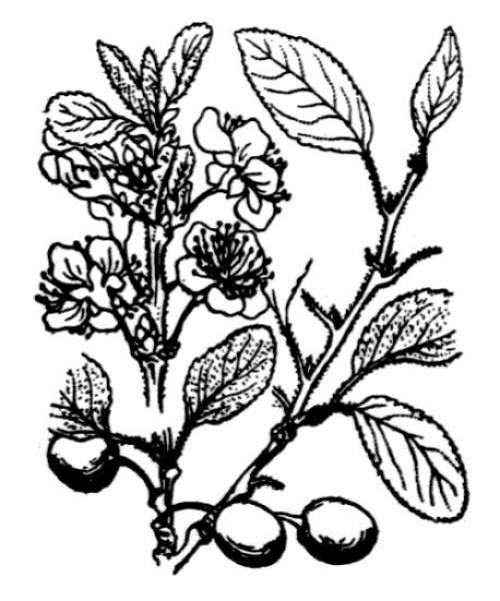 Prunus domestica L. subsp. insititia (L.) Bonnier & Layens