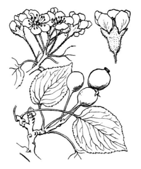 Pyrus cordata Desv.