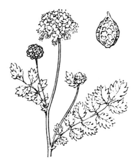 Poterium sanguisorba L. subsp. sanguisorba