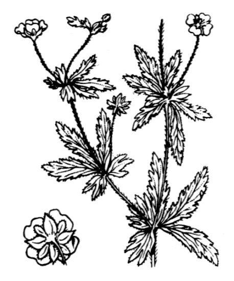 Potentilla erecta (L.) Raeusch.