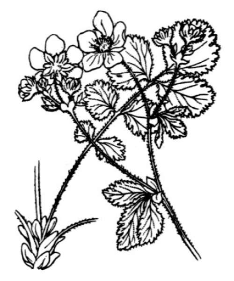 Drymocallis rupestris (L.) Soják