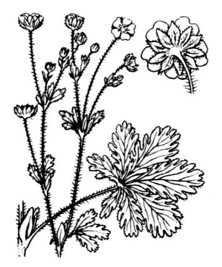 Potentilla thuringiaca Bernh. ex Link