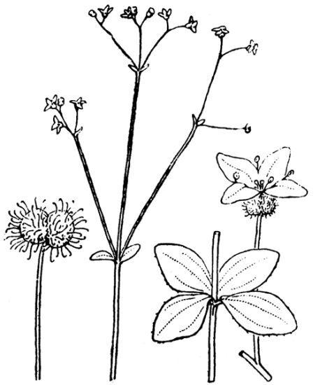 Galium rotundifolium L. subsp. rotundifolium