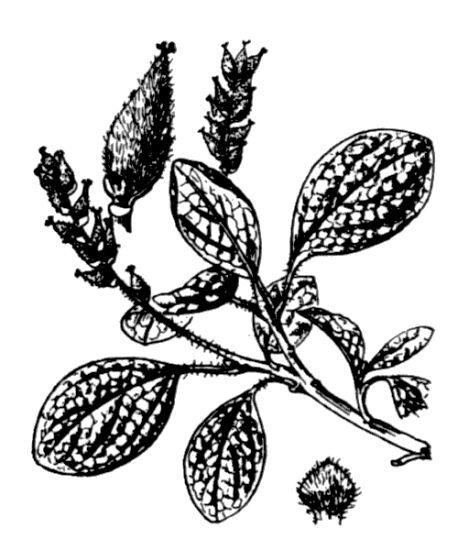 Salix reticulata L.