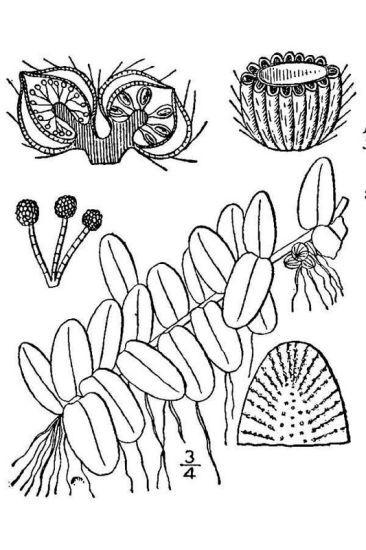 Salvinia auriculata Aublet
