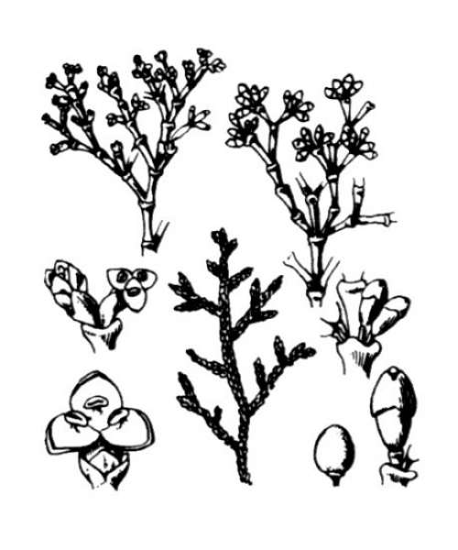 Arceuthobium oxycedri (DC.) M.Bieb.