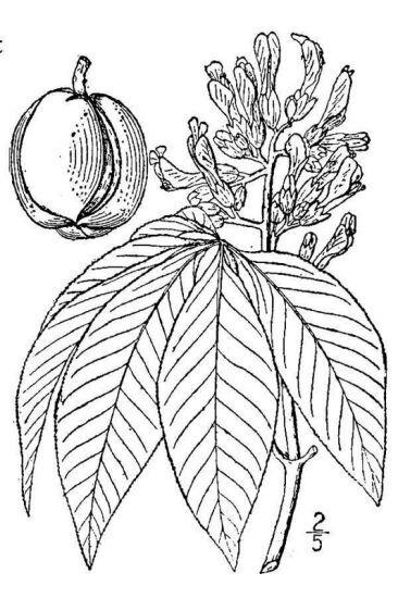 Aesculus flava Aiton