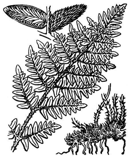 Paragymnopteris marantae (L.) K.H.Shing subsp. marantae