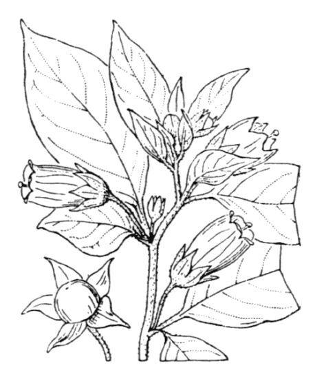 Atropa bella-donna L.