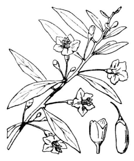 Lycium barbarum L.