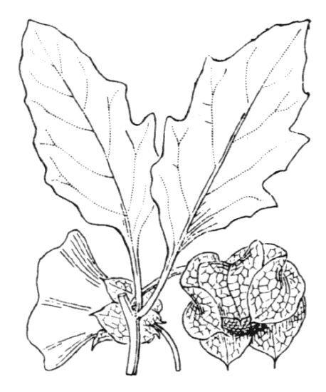 Nicandra physalodes (L.) Gaertn.