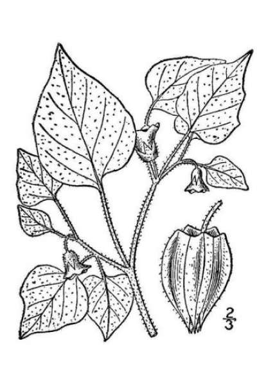 Physalis pubescens L.