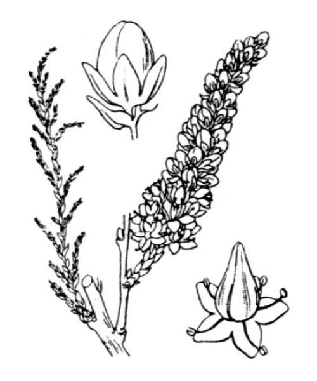 Tamarix africana Poir.