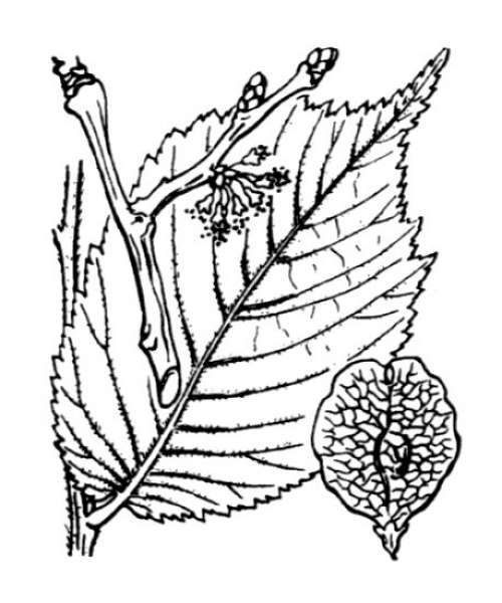 Ulmus glabra Huds.