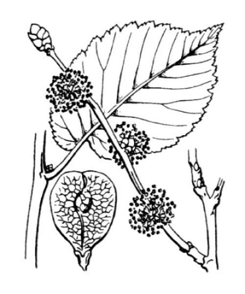 Ulmus minor Mill. subsp. minor