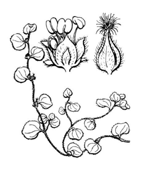 Soleirolia soleirolii (Req.) Dandy
