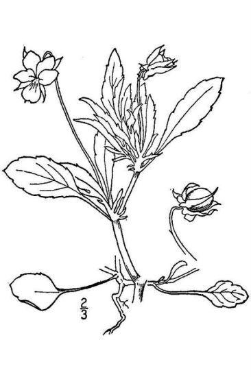 Viola arvensis Murray subsp. arvensis