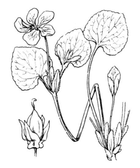 Viola mirabilis L.
