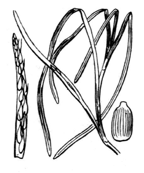 Zostera marina L.