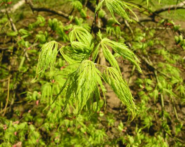 Acer palmatum Thunb. ex Murray 'Dissectum Green Globe'