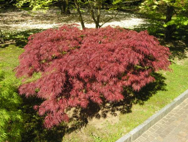 Acer palmatum Thunb. ex Murray 'Dissectum Crimson Queen'