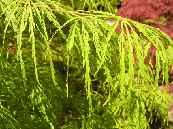 Acer palmatum Thunb. ex Murray 'Dissectum Red Autumn Lace'