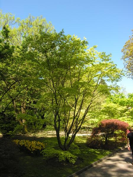 Acer palmatum Thunb. ex Murray 'Shigitatsu Sawa'