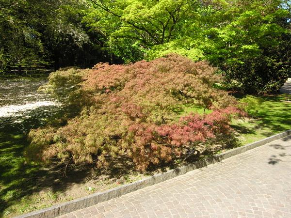 Acer palmatum Thunb. ex Murray 'Dissectum 'Garnet'