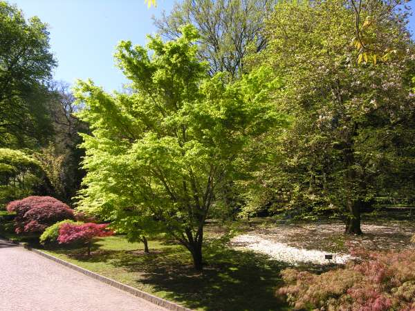 Acer palmatum Thunb. ex Murray 'Sango Kaku'