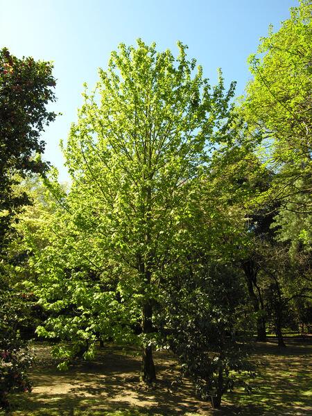Acer nipponicum H. Hara