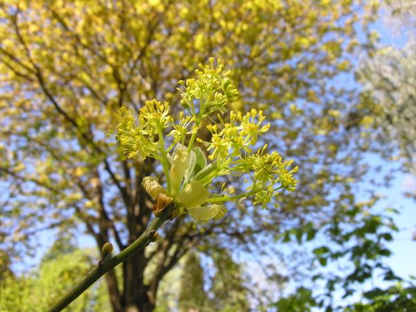 Sassafras albidum (Nutt.) Nees