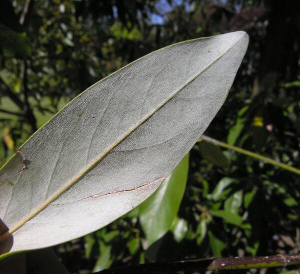 Magnolia virginiana L. var. australis Sarg.