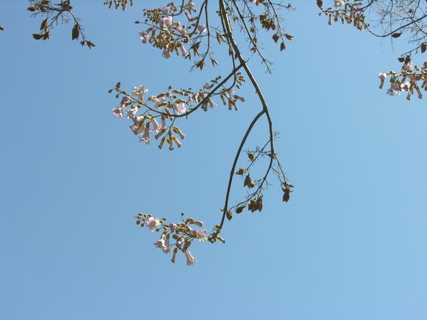 Paulownia tomentosa (Thunb.) Steud. 'Lilacina'