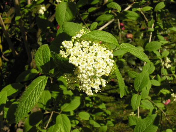 Viburnum burejaeticum Regel & Herd.
