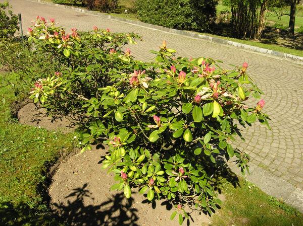 Rhododendron 'Carita Golden Dream'