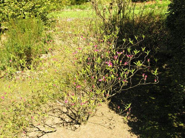 Rhododendron albrechtii Maxim.