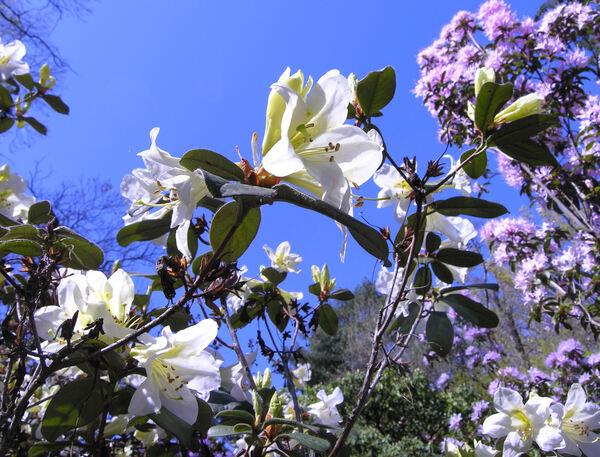 Rhododendron johnstonianum G. Watt ex Hutch.