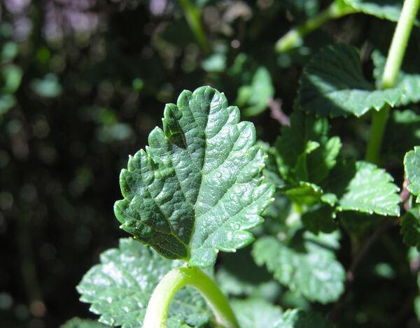 Spiraea japonica L. f. var. bullata (Maxim.) Makino