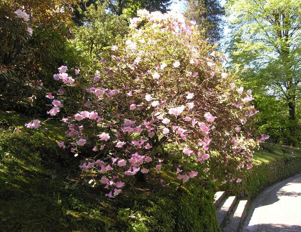 Rhododendron williamsianum Rehder & E.H. Wilson