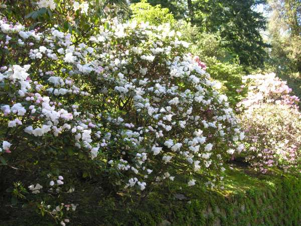 Rhododendron 'Bow Bells'