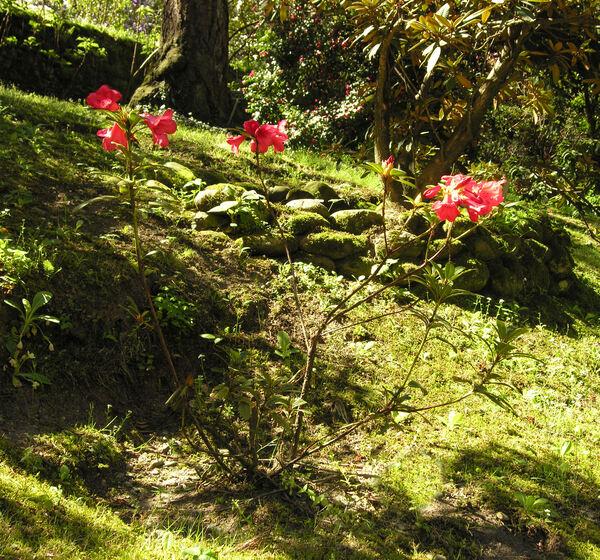 Rhododendron 'Elisabethae'