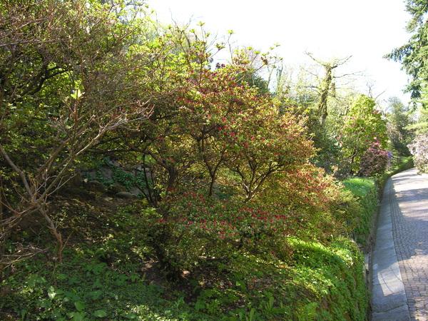 Rhododendron 'Kurume Ahasmo-Mon'