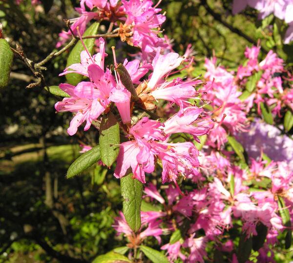 Rhododendron scabrifolium (C.B. Clarke) Ridley
