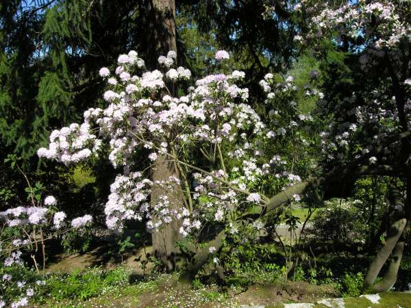 Rhododendron yunnanense Franch.