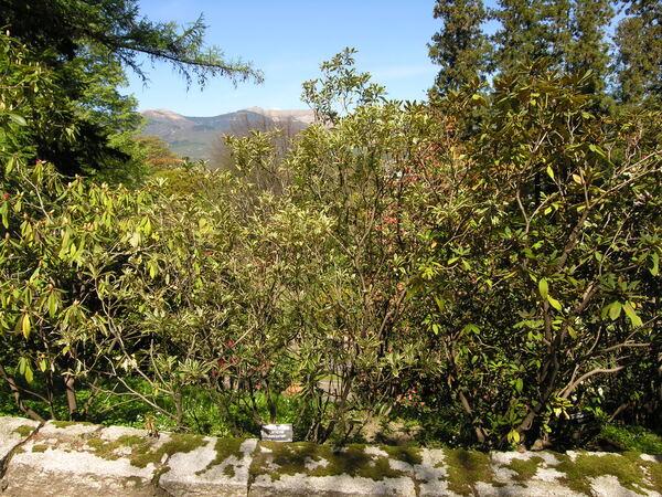 Rhododendron ponticum L. 'variegatum'