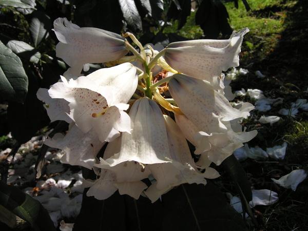Rhododendron grande Wight
