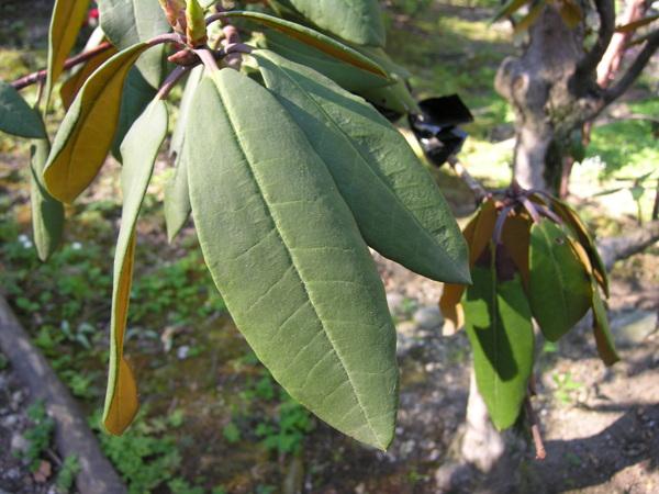 Rhododendron wallichii Hook.f.